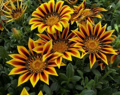 Однолетние цветы для дачи