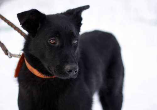 К чему чёрная собака, видеть чёрную собаку во