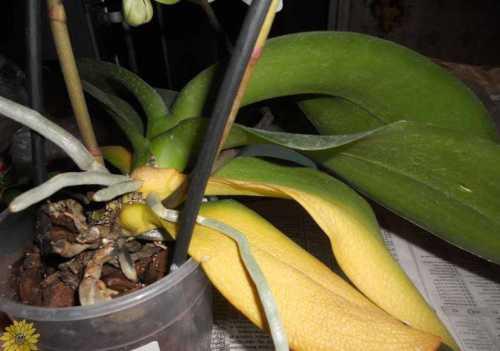 Что делать если желтеют листья орхидеи, причины