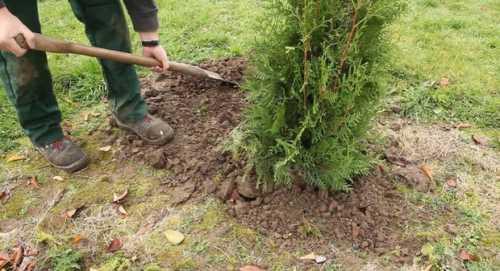 Как  посадить тую осенью, преимущества осенней
