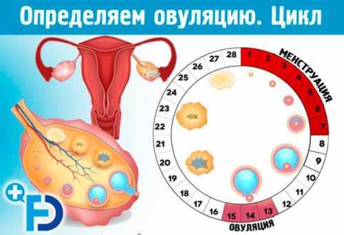 Беременность и овуляция — основные понятия