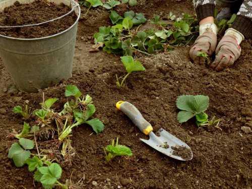 Пересадка клубники: как правильно посадить и